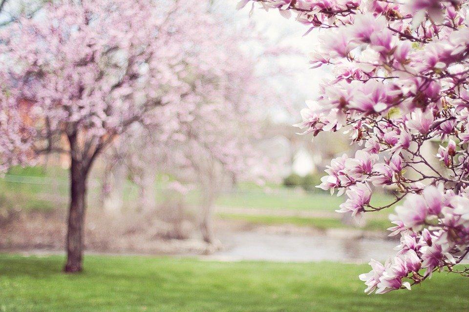 Lente-boom magnolia